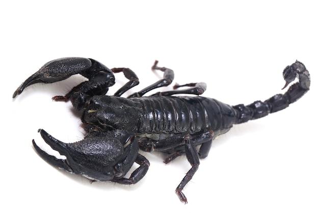 검은 아시아 숲 전갈 (heterometrus) 절연