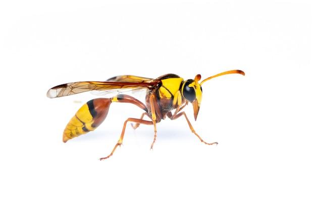 검은 다시 진흙 wasp 절연. 동물. 곤충.