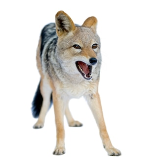 Black-backed jackal () - canis mesomelas on a white isolated