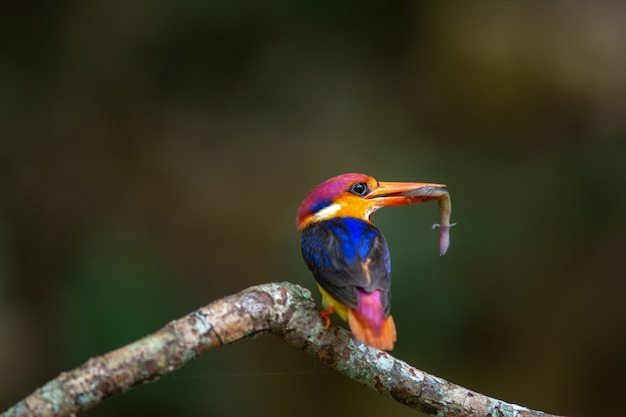 Black backed kingfisher;  ceyx erithacus with lizard in the mouth
