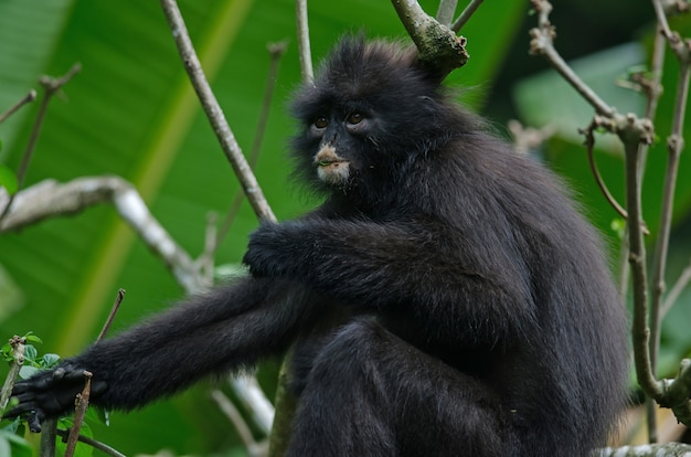 Черный банда лангур (presbytis femoralis)
