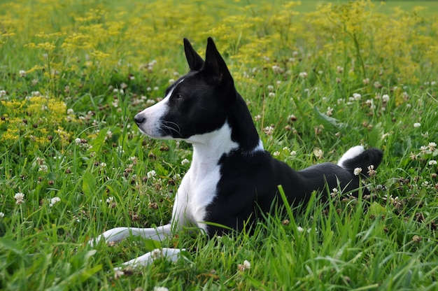 Black basenji dog is lying on field on green grass