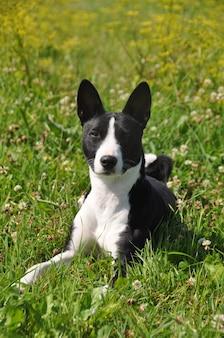 緑の草の上に横たわっている黒いバセンジー犬