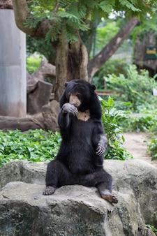 A black bear in dusit zoo, thailand.