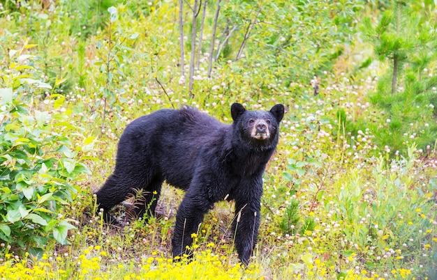 Черный медведь в лесу, канада, летний сезон