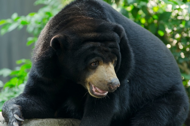 Black bear in the zoo open in thailand