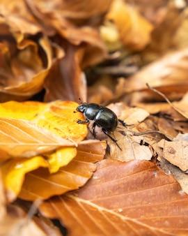 Black beetle on orange autumn leaves