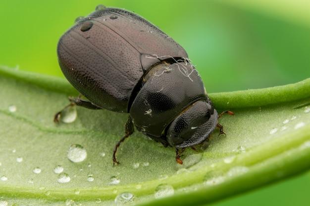Black beetle on water drops leaves nature macro