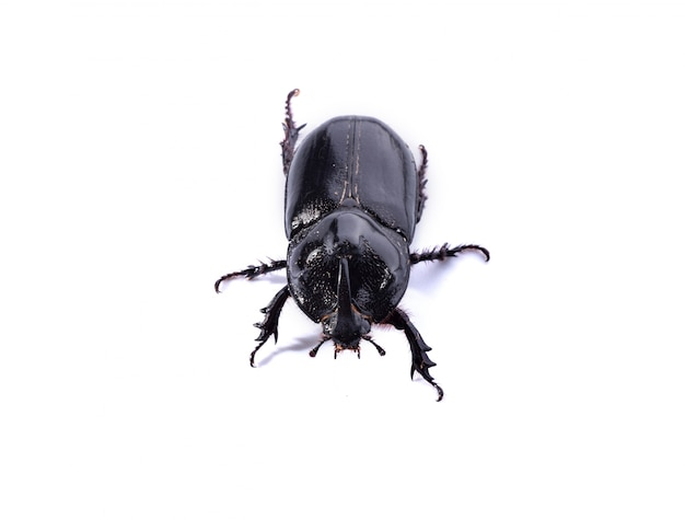 Black beetle on white background