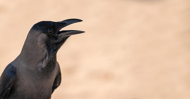 ニシコクマルガラスまたは開いたくちばしを持つカラス自然の生息地のクロウタドリ。ぼやけたニュートラルベージュの背景に開いたくちばしを持つ黒い鳥。コピースペース。バナー