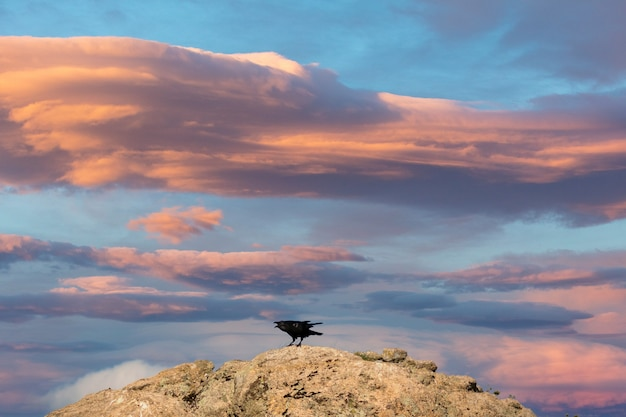 Black bird squawking with a stunning sky on the background