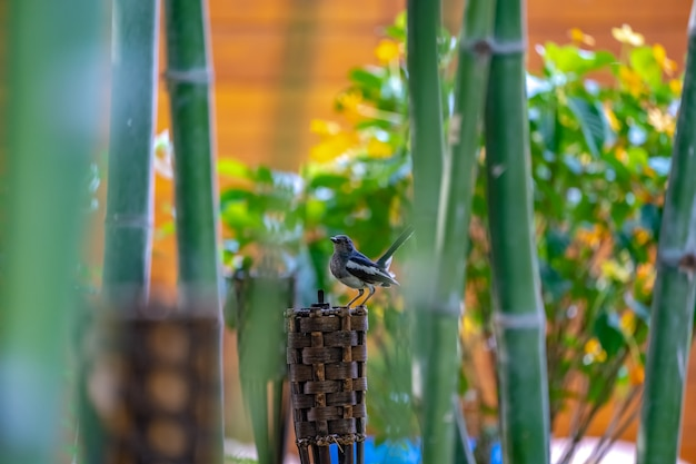 Black bird with white line on its wing hangs on to a wood tile torch, with bamboo around.