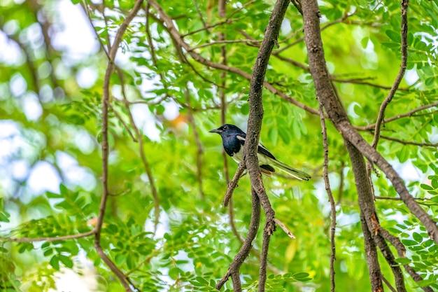 その翼に白い線を持つ黒い鳥は、木の枝、緑の背景に掛かっています。