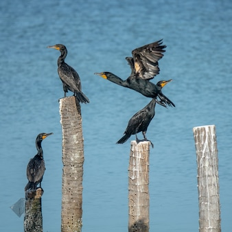 Black birds standing on cut woods put in the water during daytime