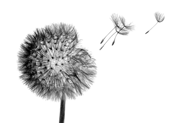 Black bloom head dandelion flower with flying seeds in wind isolated