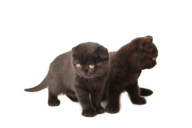 白い背景上に分離されて黒いイギリスの子猫