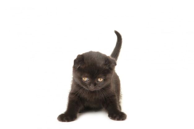 白で隔離される黒のブリティッシュショートヘアの子猫。上面図