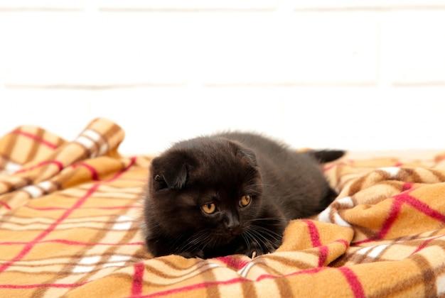 格子縞の背景に黒のブリティッシュショートヘアの子猫。上面図