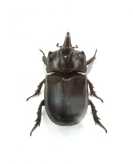 검은 챙이 넓은 딱정벌레