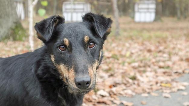 黒茶色で汚れた犬種、混血犬は、カメラの真正面に見えます。犬の散歩。黄色と緑の草の背景。アウトドアゲーム。野良犬の概念。