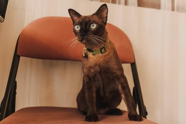 Черный коричневый кот сидит на стуле в доме