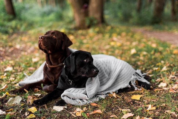 Black and brown labrador lying on grass with white scarf