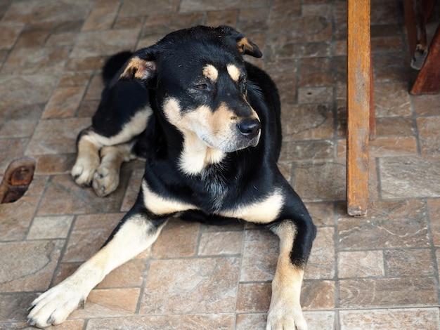 검은 갈색 태국 개는 지루한 얼굴로 테이블 아래에 앉아 집에 머물