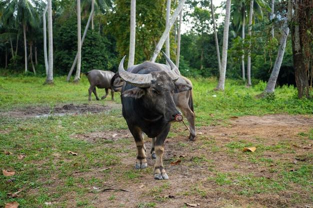 熱帯のジャングルの牧草地で黒水牛をかすめる
