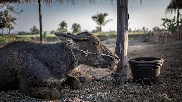 牧草地の黒い水牛