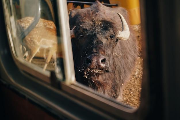生態学的な農場で黒い雄牛