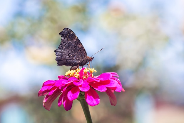 Черная бабочка сидит на розовом цветке