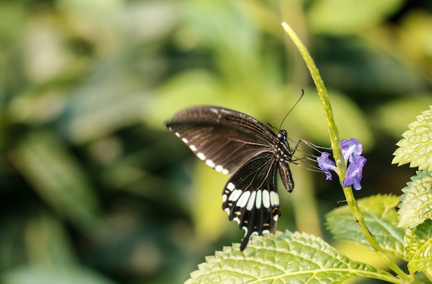 Black butterfly and violet flower in the garden.