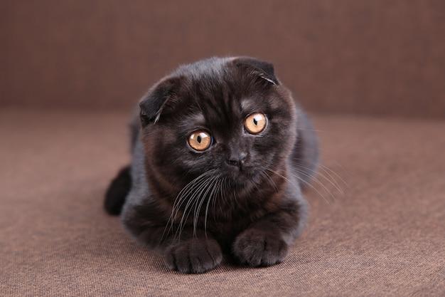 黄色い目を持つ黒い猫ブリティッシュショートヘア