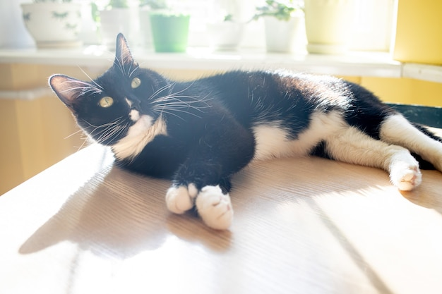 Black cat is lying on table and basking in sun near sunlit window with green house plants. cozy home interior. lovely pet. nature at home. trendy shadows. image with soft focus.