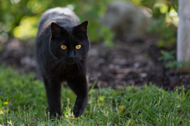 A black cat is walking throught the grass