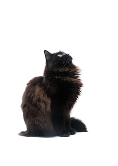 Black cat isolated on white surface.