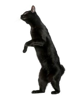 Черная кошка играет на задних лапах, изолированные на белом