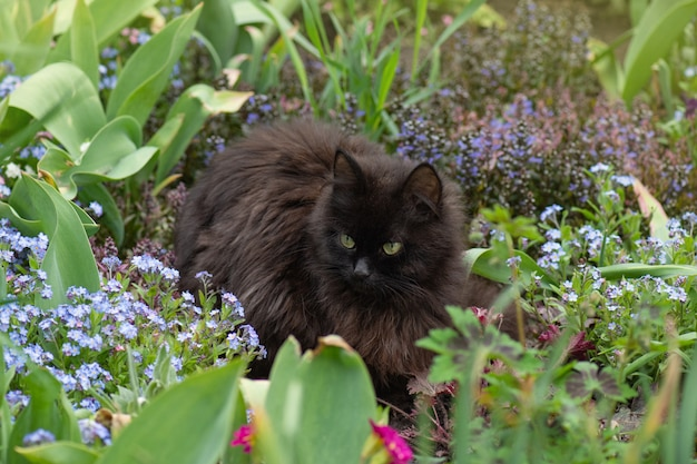 Black cat sits in a summer garden among blue forget-me-not flowers.