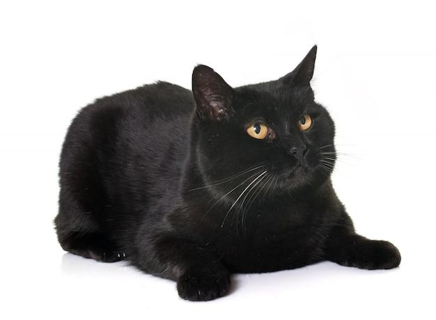 Black cat in studio