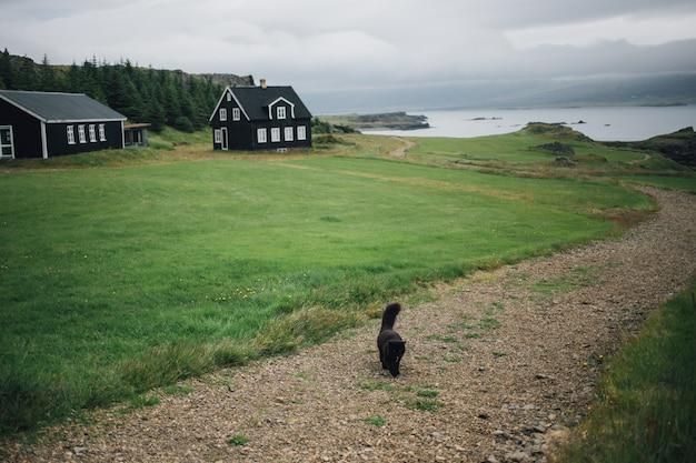 Черная кошка идет по тропинке или гравийной дороге рядом с зеленой лужайкой и настоящим исландским черным домом.