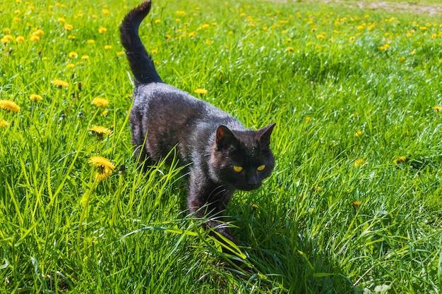 Черная кошка гуляет в поле травы желтых цветов под солнцем