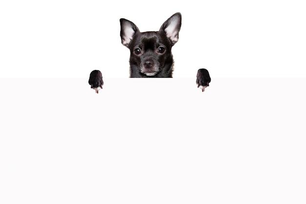 黒いチワワ犬は、白い背景のモックアップで白い紙の後ろに立っています