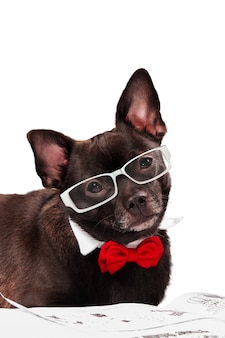 Black chihuahua with glasses and with newspapper on white