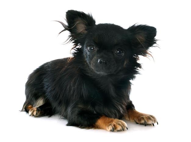 Black chihuahua