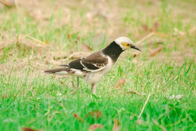 クビワムクドリのムクドリ、クビワムクドリのマイナは芝生の上を歩きます。クビワムクドリのマイナは中央公園で簡単に見つかります。