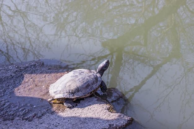 Black color turtle sunbathing on stone near the pond inside botanical garden.