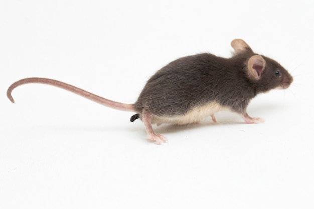Black common house mouse isolated