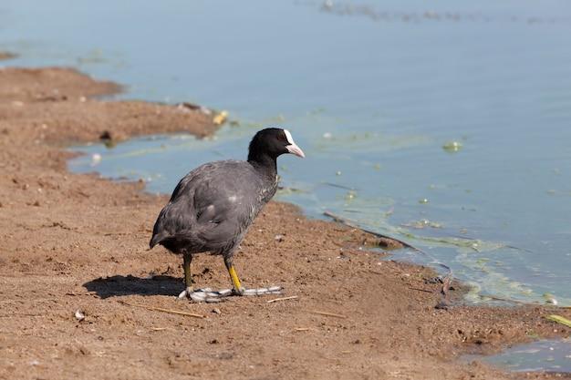 Черная лысуха весной на озере, водоплавающие птицы на озере весной или летом, черная европейская лысуха с черным оперением и белым пятном на голове