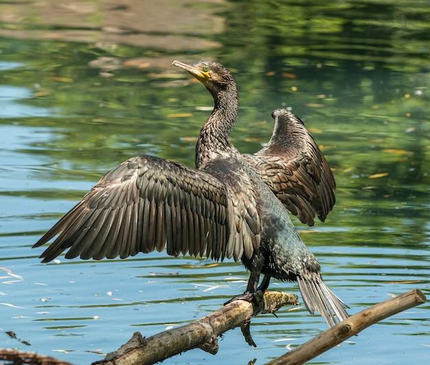 Черный баклан на бревне сушит крылья на солнце в зоопарке