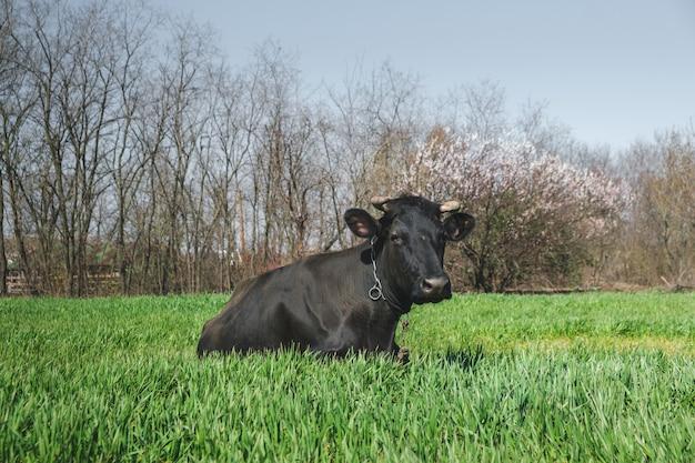 農場の緑の草の雄牛の黒い牛